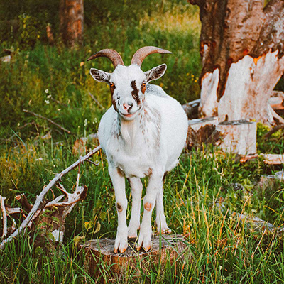 Best Ethical Cashmere Brands Cashmere Goat