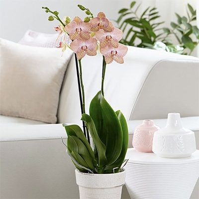 Low Waste Mothers Day Gifts RHS Plants Moth Orchid
